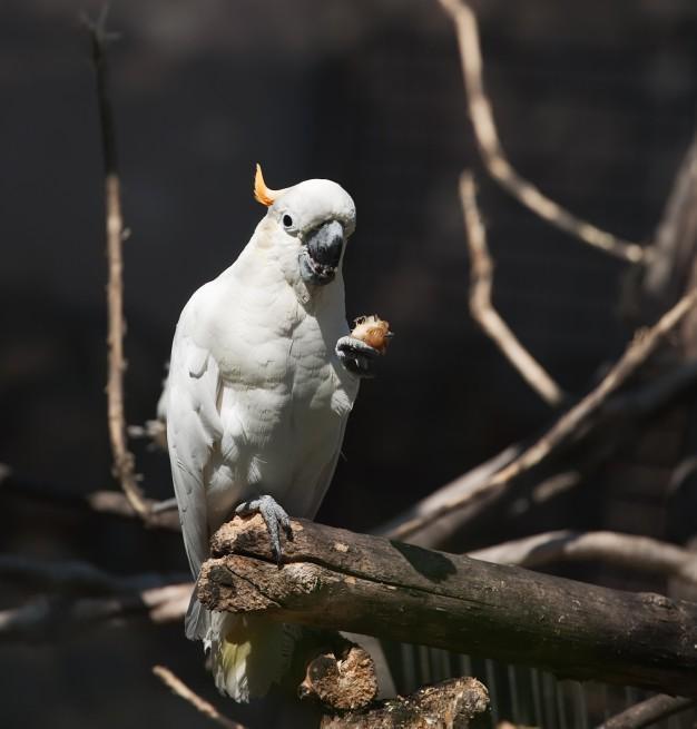 ขายอาหารนกลูกป้อน White cockatoo